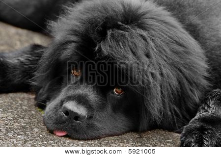 A Tired Newfoundland