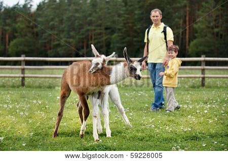 Father and son looking at two baby lamas playing together poster