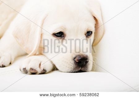 Close up of sad white Labrador puppy lying on the white leather sofa