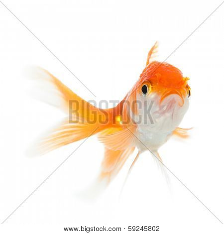 Close up of swimming goldfish, isolated on white. Concept of wishes fulfilment and natural beauty