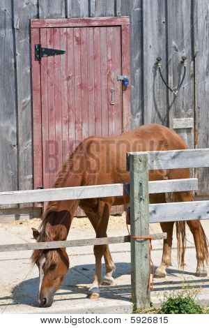 A lone horse with his head down eating something on the concrete with a weathered red barn door behind. poster