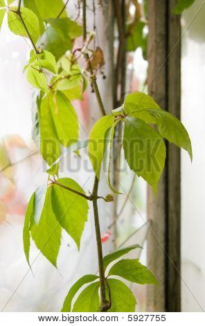 Grape Leafs In Window