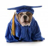 puppy obedience - english bulldog wearing graduation costume isolated on white background poster