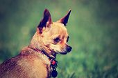 a tiny chihuahua gazing off while sitting outside in the grass done with a vintage retro instagram filter poster