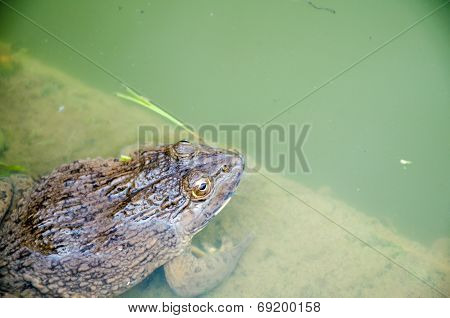 Close up of a toad in the pond poster