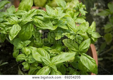 Basil plants growing in a pot