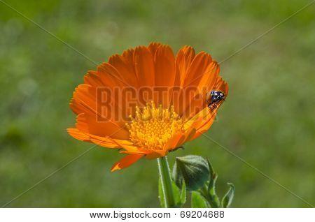 luck symbol ladybird ladybug on fresh medical calendula marigold flower poster
