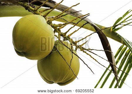 Young Coconut On The Tree