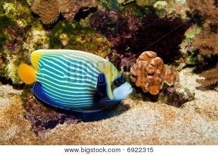 Emperor Angelfish (Pomacanthus imperator) in Aquarium against Coral Reef Background poster