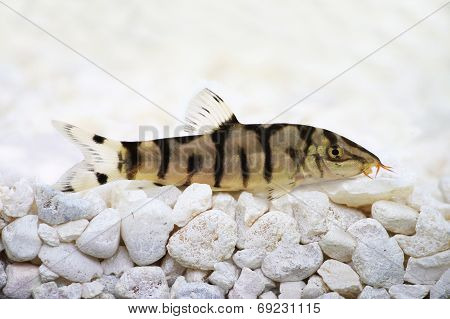 Yoyo loach Almora loach or Pakistani loach, Catfish Botia almorhae