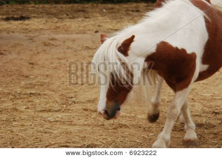 Pony In A Petting Zoo