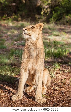Lioness sitting in the sun face up