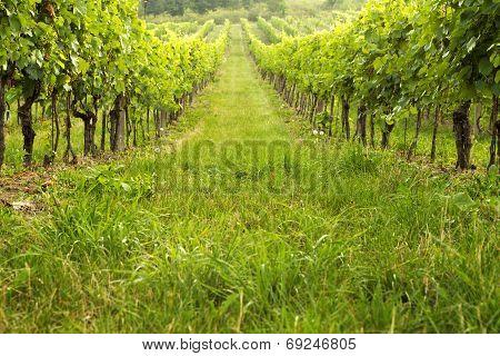 Vineyard In Spring Sunny Day