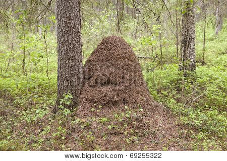 Anthill in the forest.
