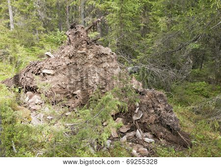 Uprooted tree in a forest.