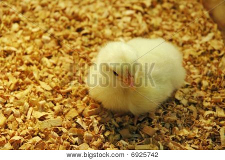 Yellow Newborn Duckling