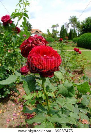 Grafin Von Hardenberg Rose
