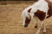 Pony walking around in a petting zoo poster