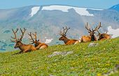 Gang of Elks in Colorado. North American Elk on the Hill. Rocky Mountains United States. poster