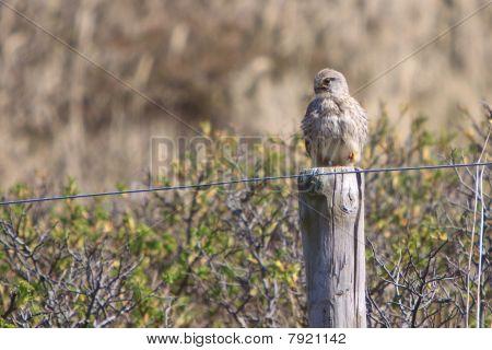 Juvenile kestral bird sitting on a fence pole poster