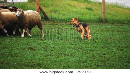 Sheep's Dog