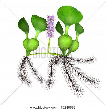 Eichhornia