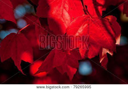 Red leaf on Maple tree.