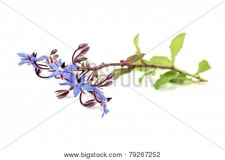 Fresh Natural Borage