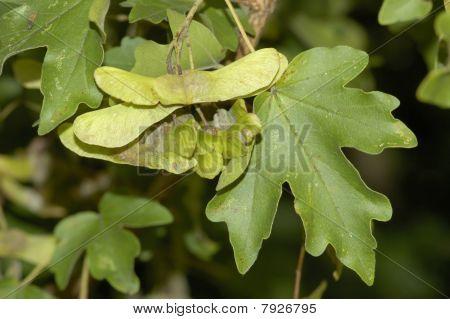 Field Maple seeds - Acer campestre
