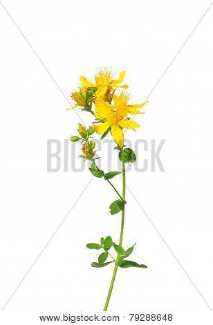 Common St Johns Wort (hypericum Perforatum)