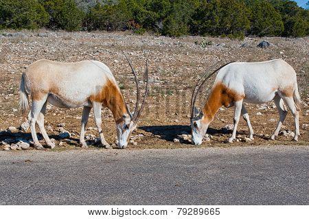 Two Scimitar Oryx Animals.