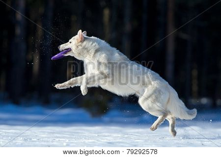 Swiss Shepherd in winter, playing with frisbee.