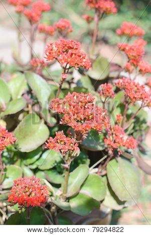 Red Kalanchoe Bloom