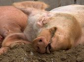 Sleeping Pig with a satisfied contented look poster