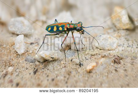 Extreme Closeup Of A Brightly Colored Tiger Beetle In The Wild