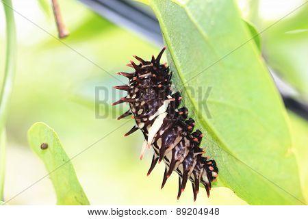 Larva of Heng-chun birdwing butterfly