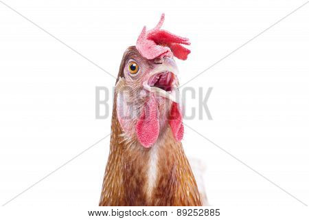Close Up Bill ,beak ,eye And Face Of Chicken Livestock With Funny Acting Isolated White Background U