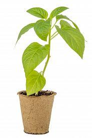 Pepper Seedlings In A Peat Pot