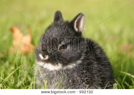 Netherland Dwarf Rabbit Ii