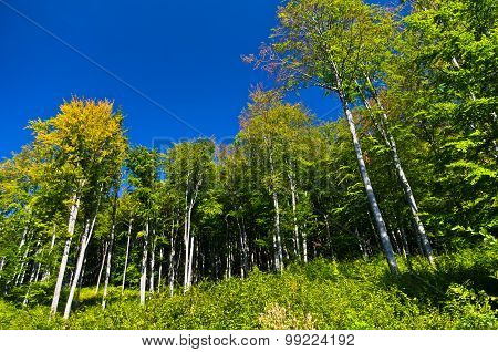 Beech forest in early autumn at Semenic national park