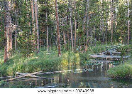 Gibbon River Forest