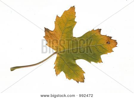 Green Fall Leaf