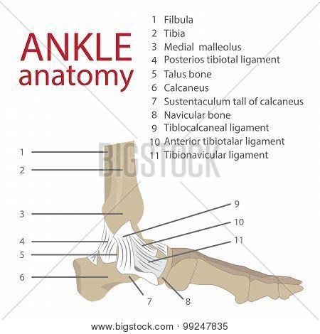 human ankle anatomy