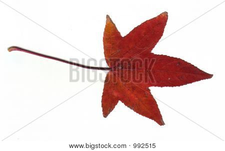 Red Maple Fall Leaf