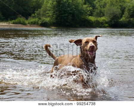 Dog running in the water, dog enjoy in the river, portrait of swimming dog