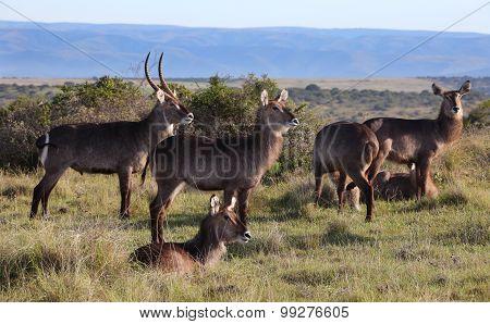 African Waterbuck Herd