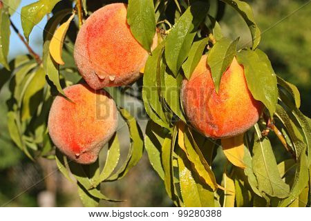 Fresh Ripe Peaches On Tree Branch