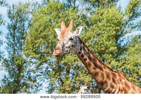 Close Up Photo Of A Rothschild Giraffe Head