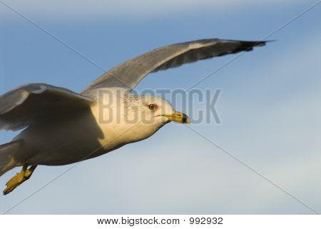 Gulls Eye