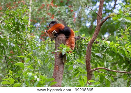 Red Panda sitting alone in a tree, animal poster